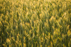 Ripe rye in field Stock Image