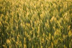 Ripe rye in field Stock Image