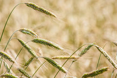Ripe rye field , ears, closeup Royalty Free Stock Photography