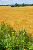 Ripe rye field on  sunny day in July Stock Photography
