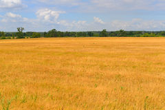 Ripe rye field on  sunny day in July Royalty Free Stock Image