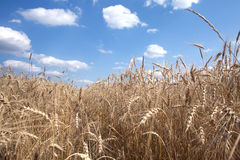 Ripe rye field under blue sky on summer day closeup Royalty Free Stock Images