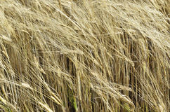 Ripe rye swaying in the wind Royalty Free Stock Photos