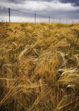 Ripe rye under cloudy skies Stock Photos