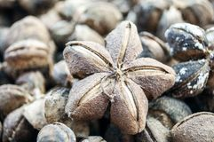 The ripe sacha inchis are brown and look like flower or star. The ripe sacha inchis are brown and look like flower or star or shuriken. The seeds inside are Stock Photography