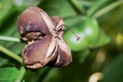 The ripe sacha inchis are brown and look like flower or star. The ripe sacha inchis are brown and look like flower or star or shuriken. The seeds inside are Stock Photo