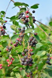 Ripe Saskatoon berries on a branch on blue sky background at Sun. Ny day in the suburbs of St. Petersburg royalty free stock photo