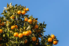 Ripe satsumas on tree against blue sky Stock Photos