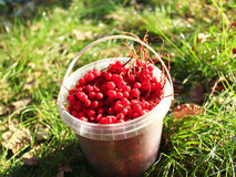 Ripe schisandra in the bucket on the grass Stock Photo