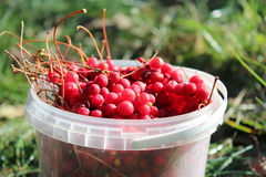 Ripe schisandra in the bucket Stock Image