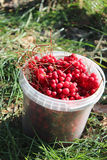 Ripe schisandra in the bucket Royalty Free Stock Photography