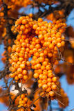 Ripe sea buckthorn berries Stock Image