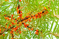 Ripe sea-buckthorn berries on branch Royalty Free Stock Photography
