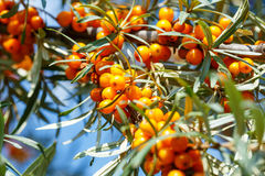 Ripe sea buckthorn berries on a branch Stock Image