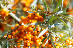 Ripe sea buckthorn berries on a branch Stock Images