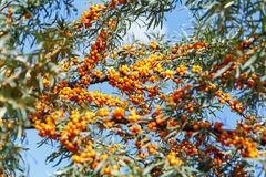 Ripe sea buckthorn berries on a branch Stock Photo