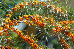 Ripe sea buckthorn berries on a branch Royalty Free Stock Image