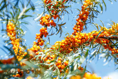 Ripe sea buckthorn berries on a branch Stock Photography