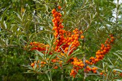 Ripe sea buckthorn berries on a branch. stock photos