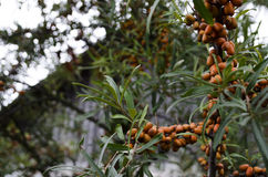 Ripe sea buckthorn berries Hippophae rhamnoides. ! stock images