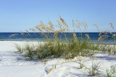 Pristine Florida Panhandle Beach with Sea Oats in Summer. Ripe Sea Oats grace Pensacola, Florida`s dazzling white beaches on the Gulf of Mexico each summer royalty free stock photos