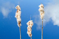 Ripe seeds of Bulrush Stock Images