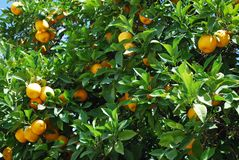 Ripe Seville oranges on a tree. Royalty Free Stock Photo