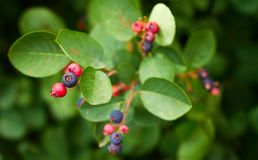 Ripe shadberry berries on branch in the garden, from above. Shadberry plant with ripe berries on branch outdoor in the garden, close-up, center composition royalty free stock image
