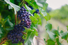 Ripe shiraz grapes on the vine, vineyard in summer Royalty Free Stock Photos