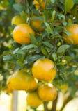 Ripe shogun orange hanging on tree. Stock Photography