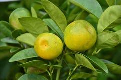 Ripe Shokun oranges Royalty Free Stock Photos