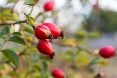 Ripe dogrose on a branch Stock Images