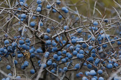 Ripe sloe fruit on branches of blackthorn (Prunus spinosa) Royalty Free Stock Image