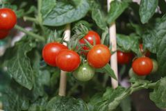 Ripe small tomatoes grown on the branches. stock photos