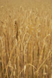 Ripe soft wheat on organic field Royalty Free Stock Photography