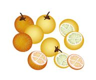 Ripe Solanum Stramonifolium on A White Background Royalty Free Stock Image