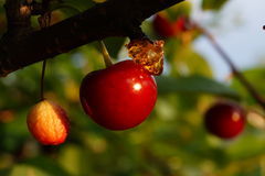 Ripe Sour Cherry Stock Photography