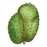 Ripe soursop fruit on white background. Guyabano watercolor illustration. Stock Images
