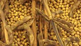 Ripe Soy Bean Plants and Beans stock video footage