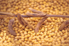 Ripe Soy Bean Plants and Beans Royalty Free Stock Photography