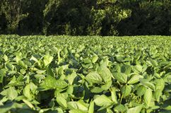Ripe soybean field stock images