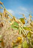 Ripe soybean fields Stock Photo