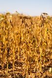 Ripe soybean plants on the field background. Close up of ripe soy beans on the field ready for harvest Royalty Free Stock Photos