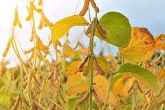 Ripe soybean plants growing in a field. Soy agriculture Royalty Free Stock Photos