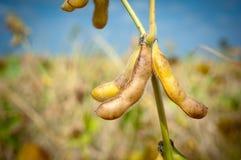 Ripe soybeans Stock Photo