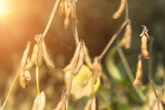Ripe soybeans closeup, ready for harvest Royalty Free Stock Photos