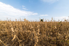 Ripe soybeans in field Stock Photos