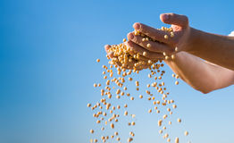 Ripe soybeans Royalty Free Stock Image