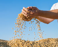 Ripe soybeans Stock Images