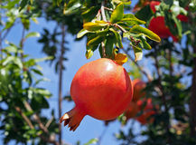 Ripe Spanish pomegranates on a tree. Spanish pastoral suburban landscape from high viewpoint,, Spain Royalty Free Stock Photography